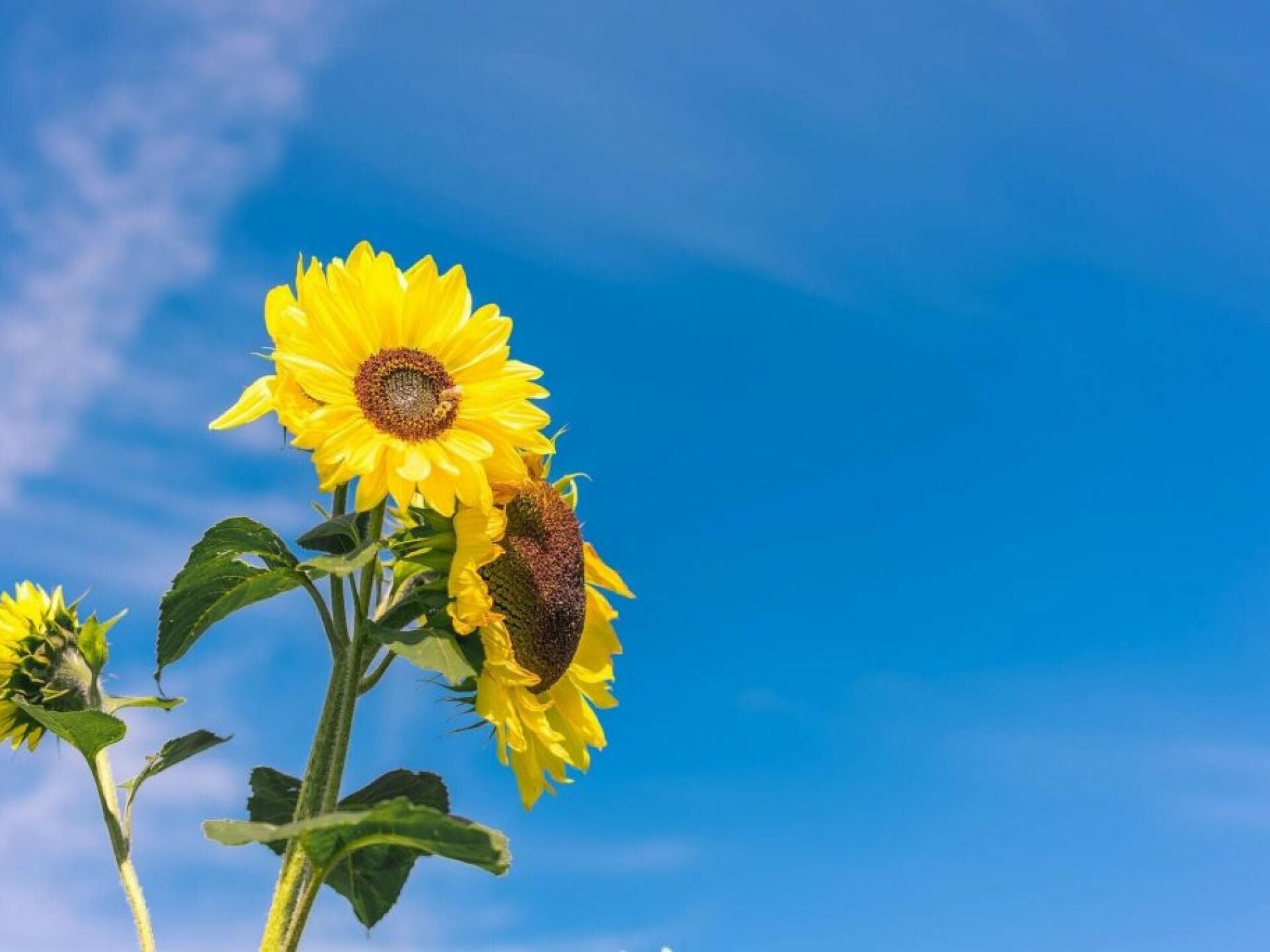 Close up of three sunflowers with blue sky in background.